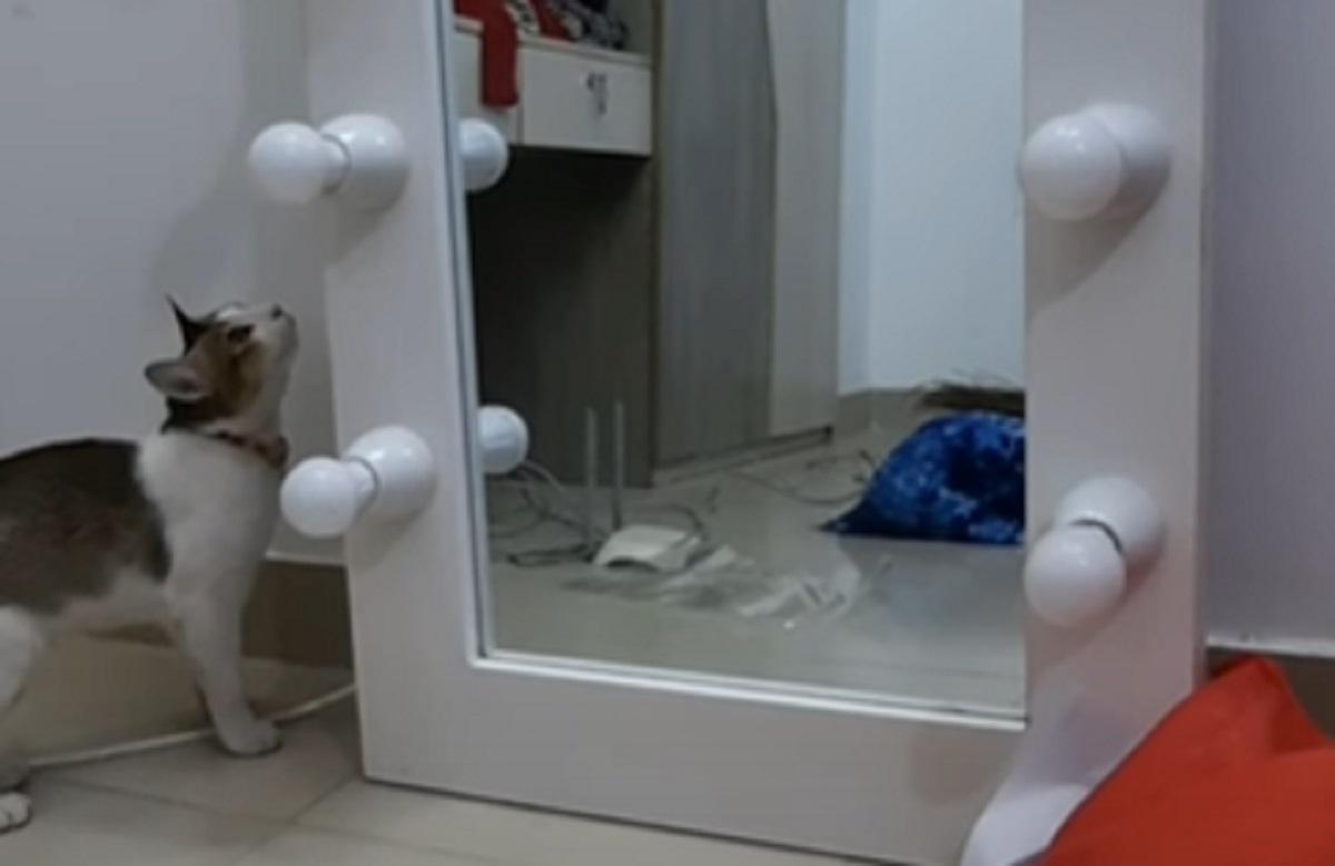gattino curioso specchio
