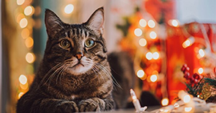 gatto regalo reazione