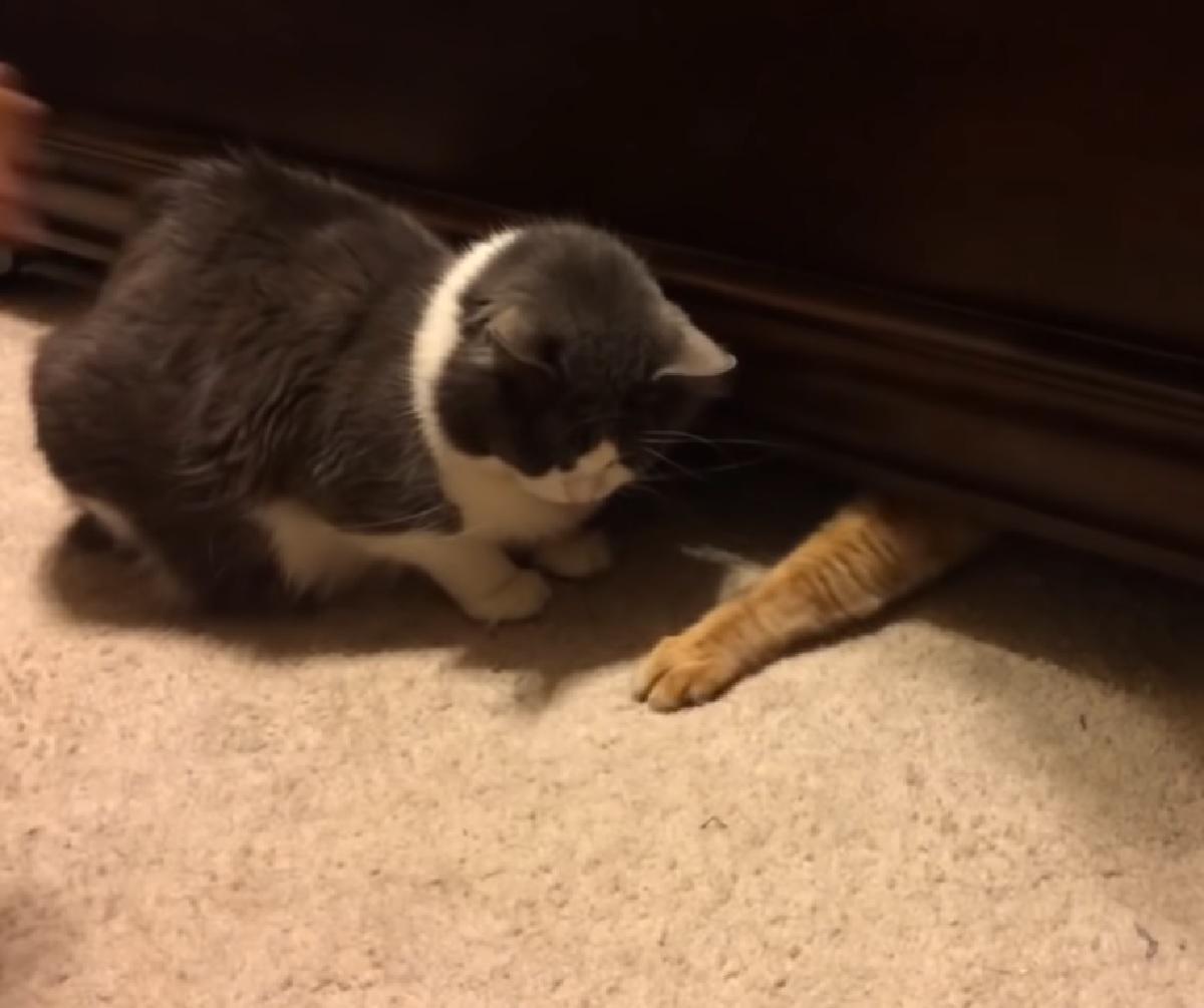 gattino grigio senza crocchette