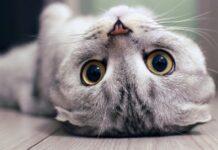 gattino scottish fold alle prese con l'acqua ridere posso