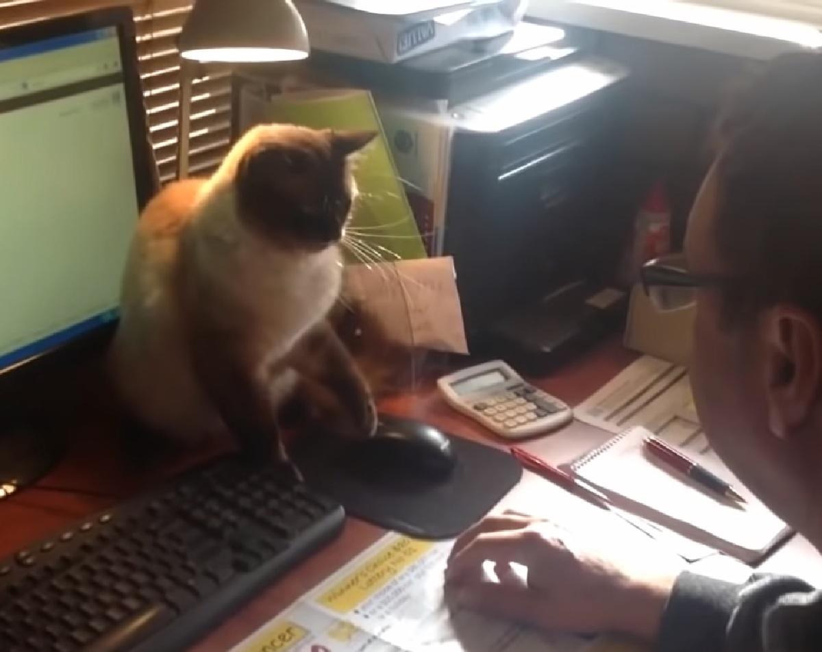 gattinosiamese uomo cerca di lavorare inutilmente