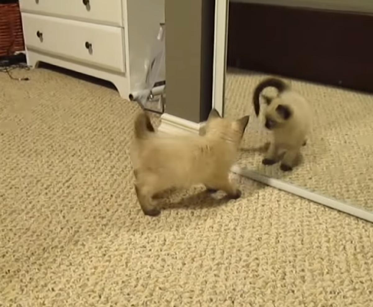 billie gattino siamese attacca specchio