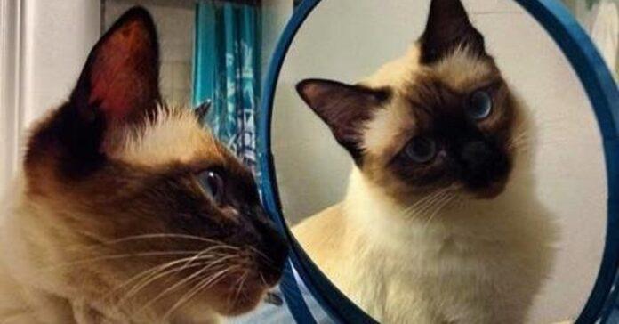 gattino siamese vede prima volta riflesso video impazzire web