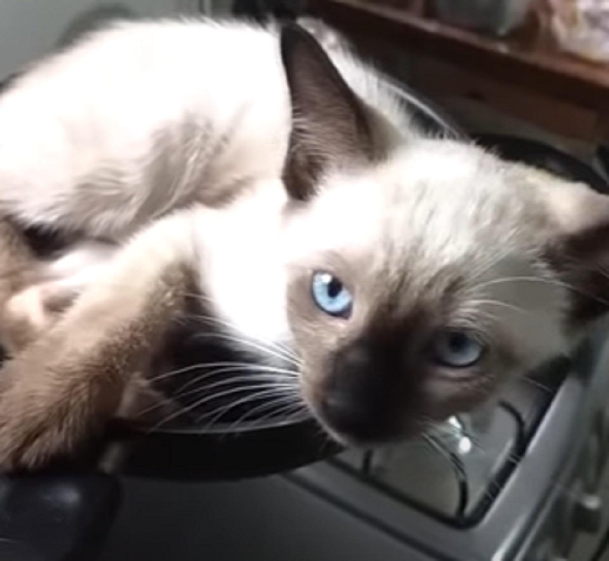 micio gattino siamese