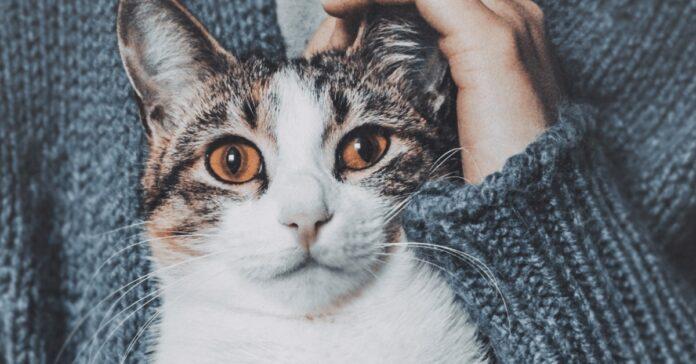 gatto perplesso durante delle carezze