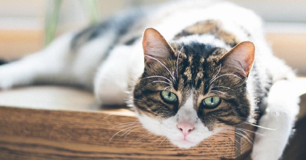 gatto disteso sul tavolo