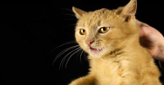 gatto preso dalla collottola