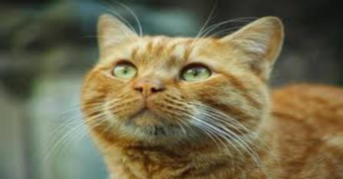 gatto arancione primo piano