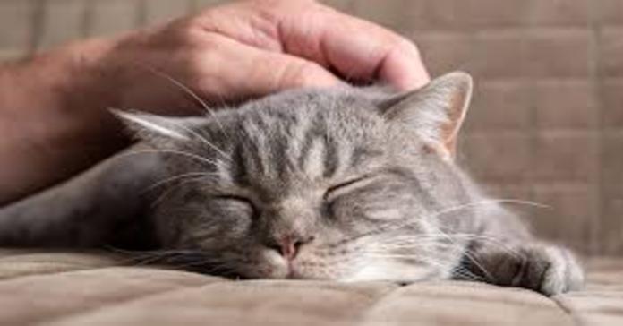 gatto grigio accarezzato