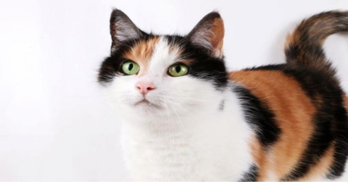 Gattina tricolore guarda in alto