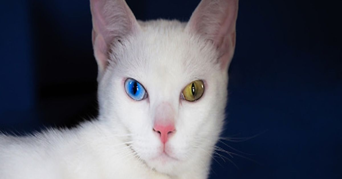 gatto khao manee eterocromia