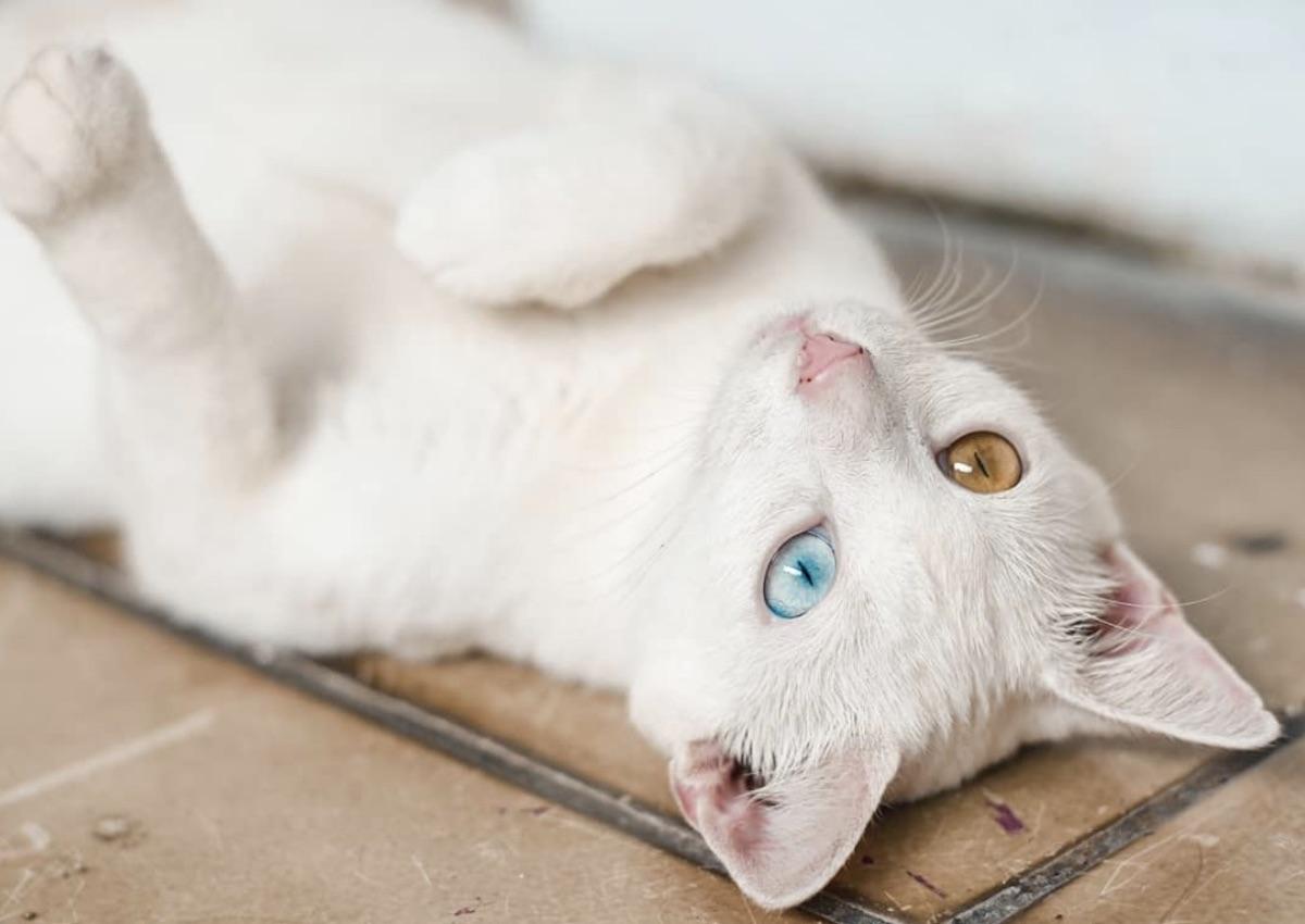 gatto candido