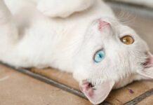 gatto pelo bianco