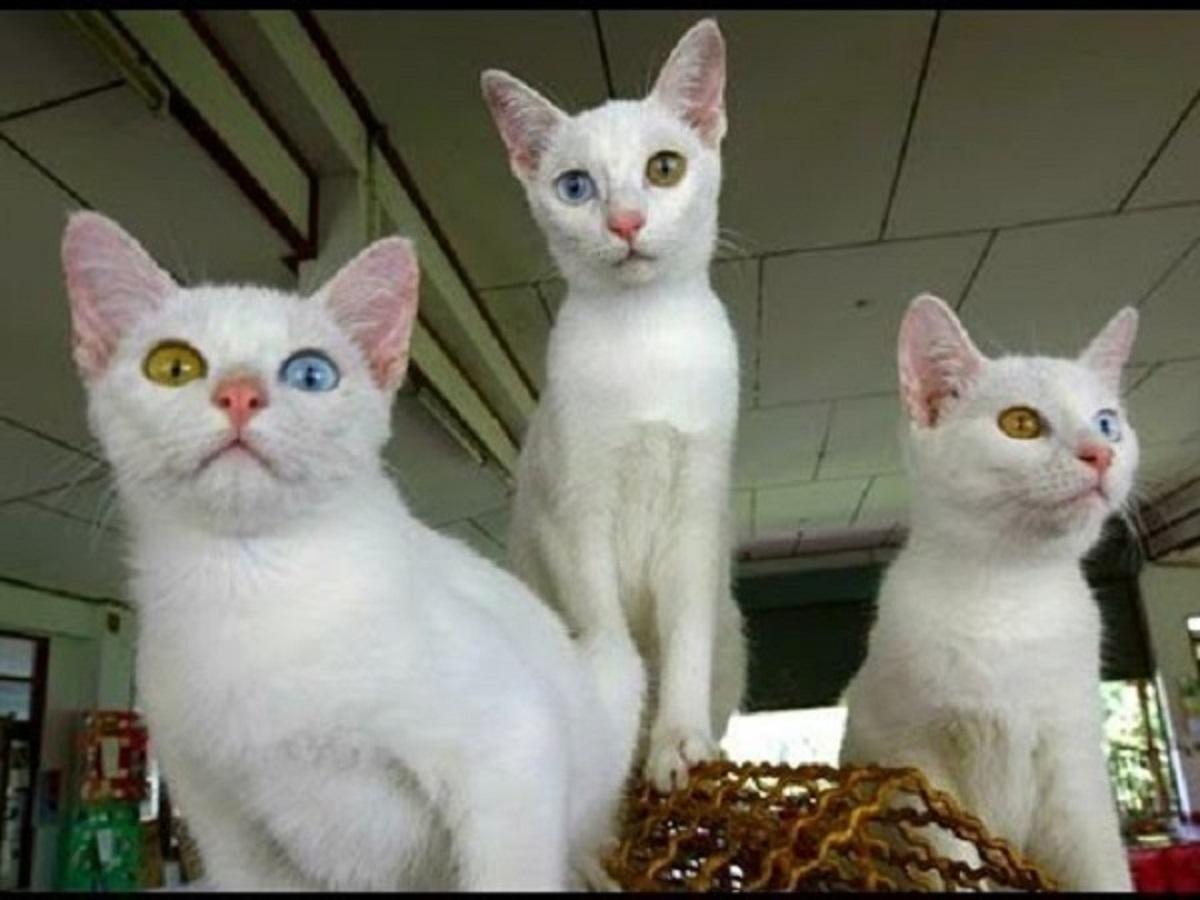 gattini bianchi candidi