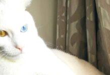 gattino occhi colorati pelo bianco