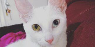 gatto pelo candido