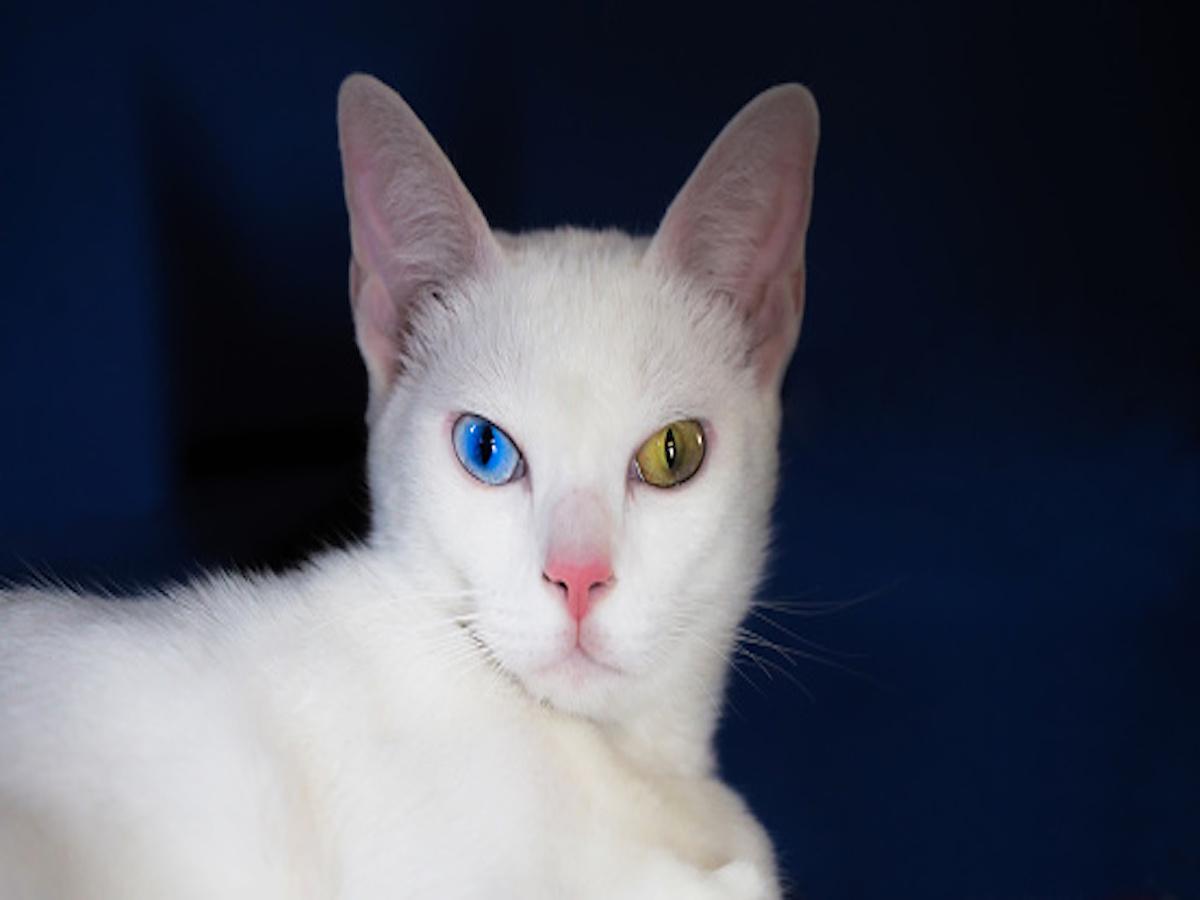 occhi colorati del khao manee