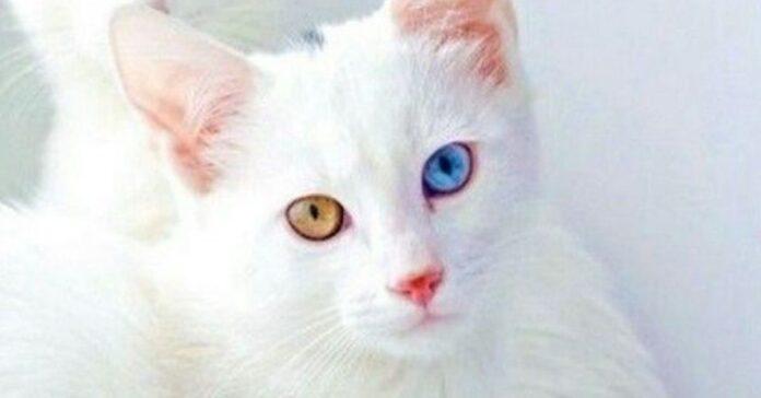 gatto bianco occhi belli