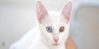 gatto bianco eterocromia