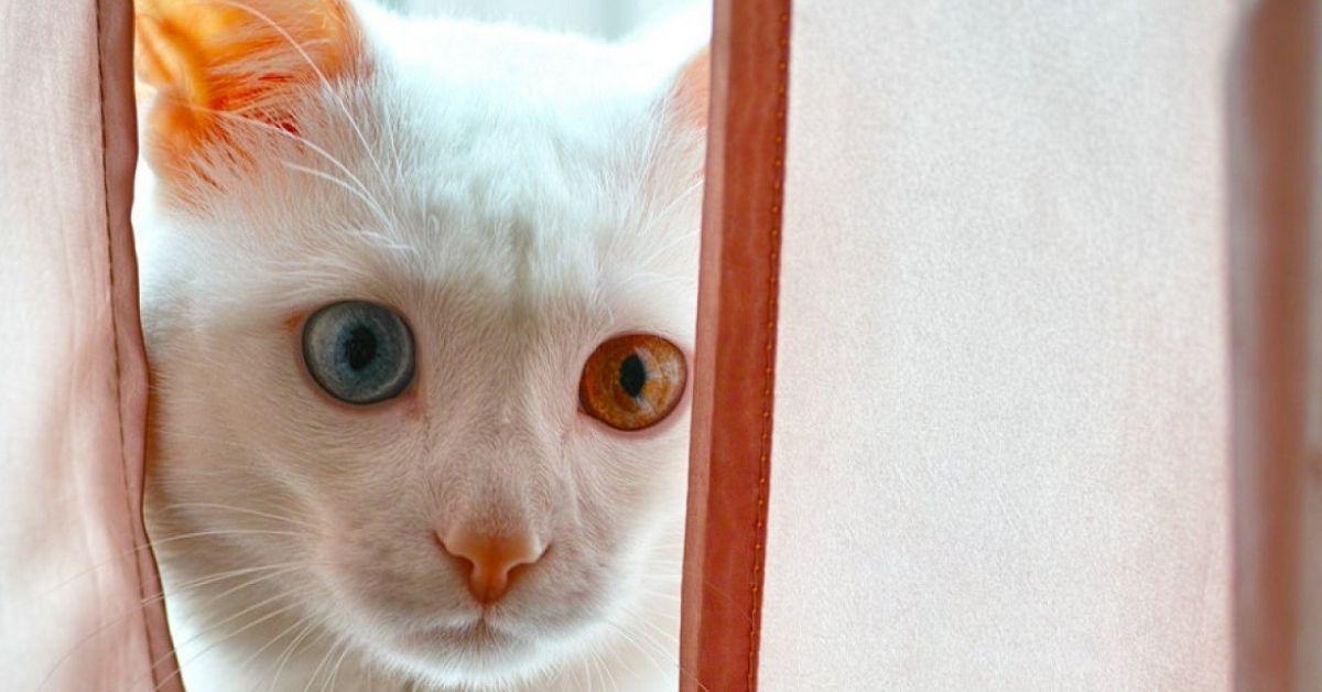 gatto pelo bianco sguardo tenero