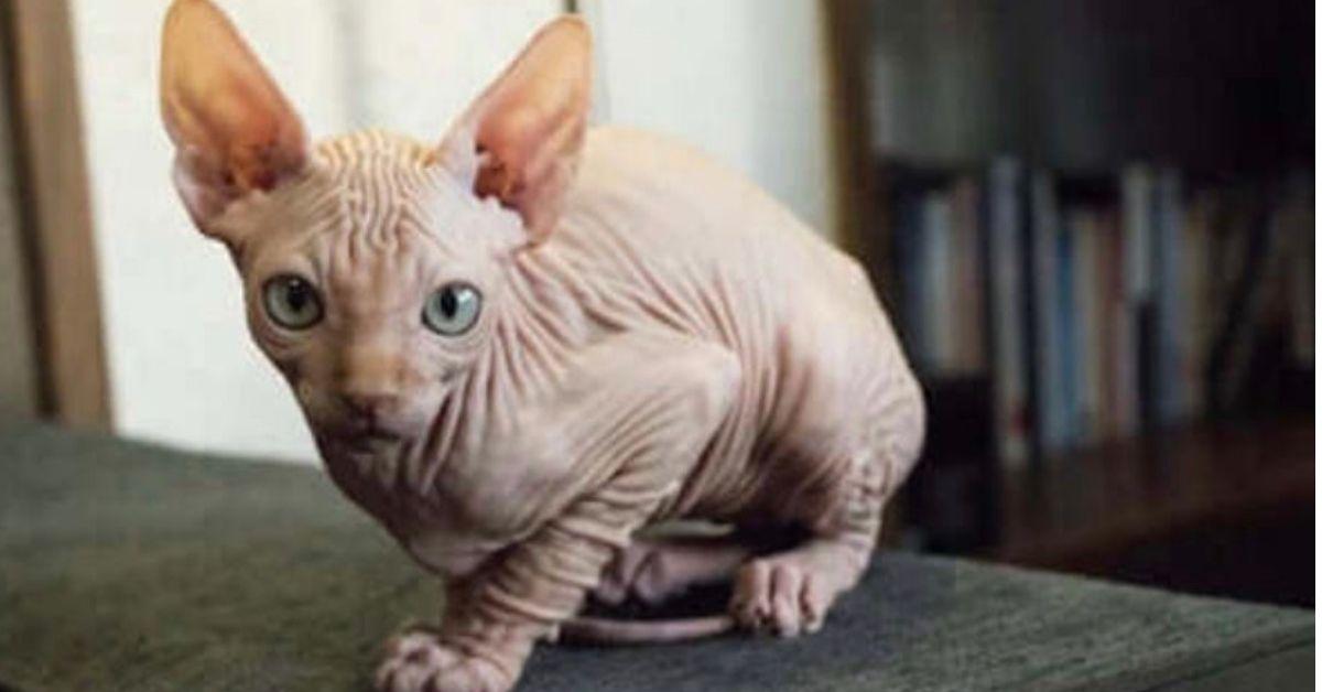 gatto con piaghe