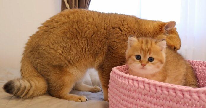 la piccola gattina british shorthair importuna padre relazione video lascia tutti bocca aperta