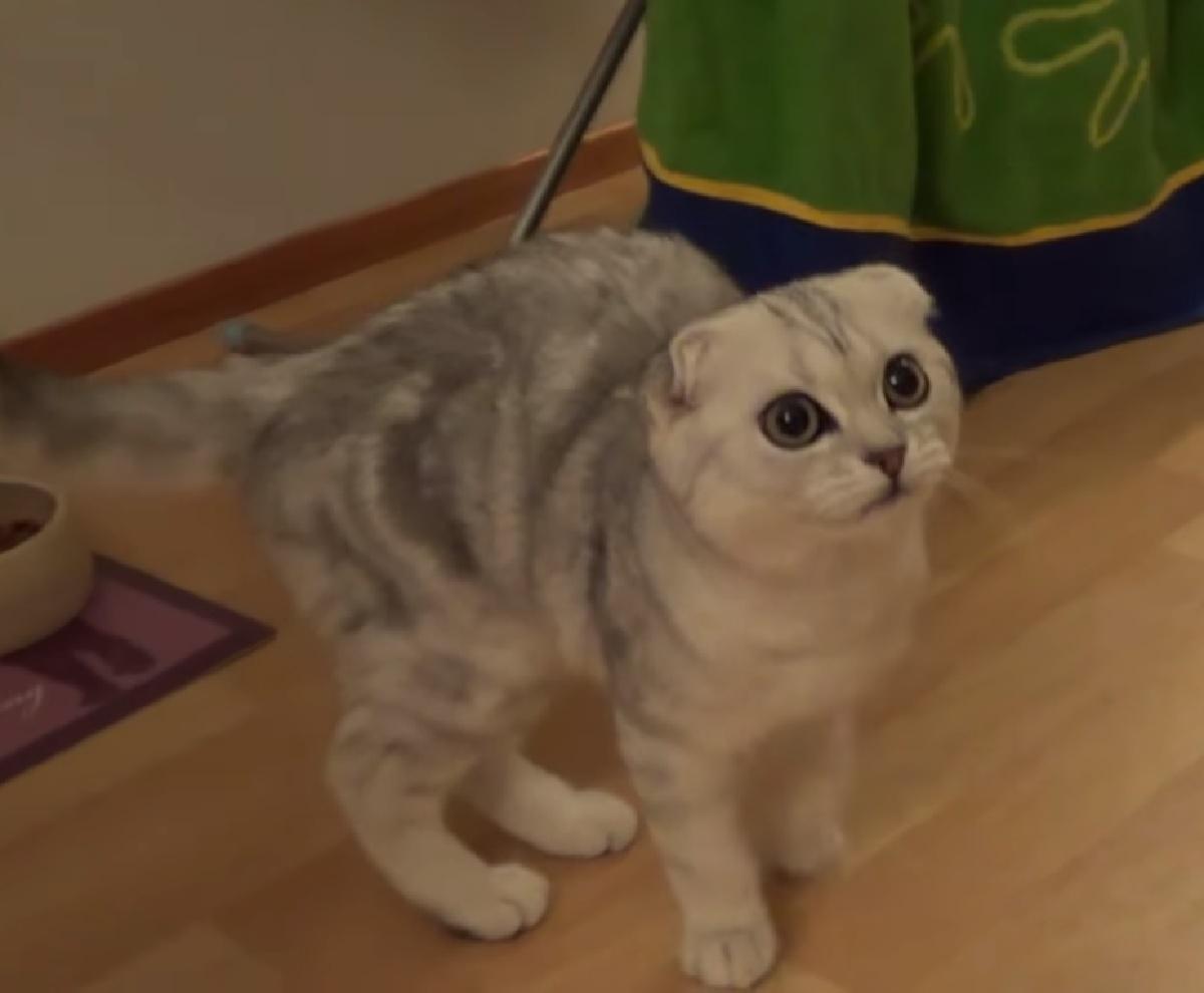 vanilla gattina scottish fold rabbia