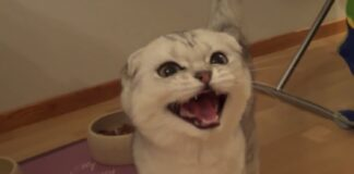 piccola gattina scottish fold vuole mangiare ecco cosa fa per chiedere cibo video