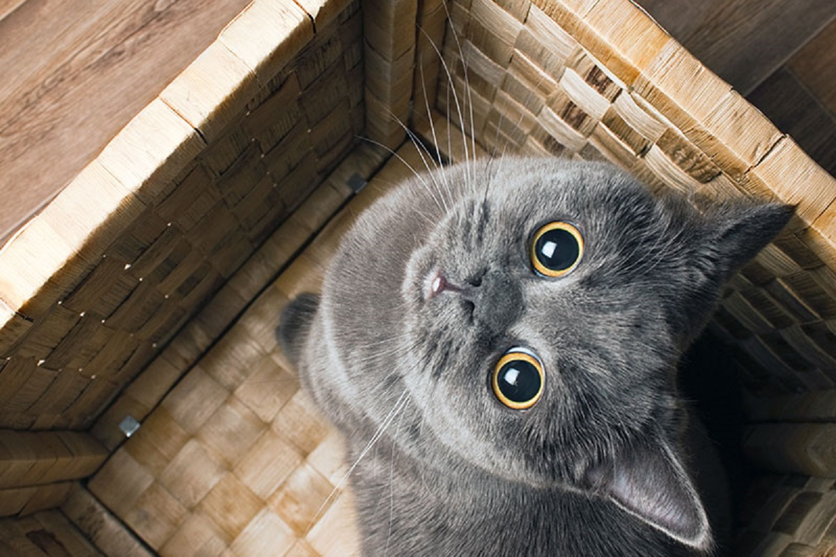 gattino grigio guarda in su