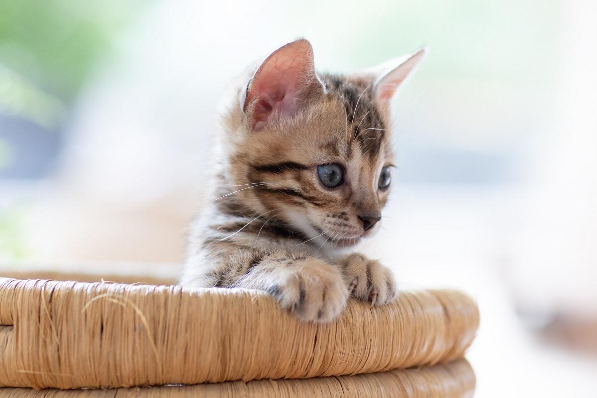 gattino si affaccia da una cesta
