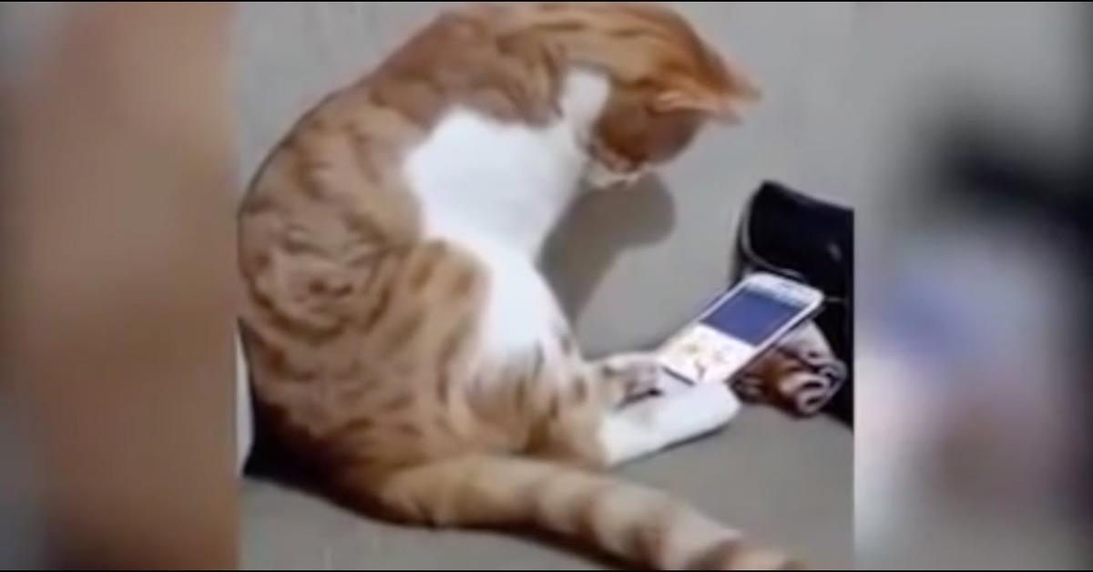 gatto guarda telefono