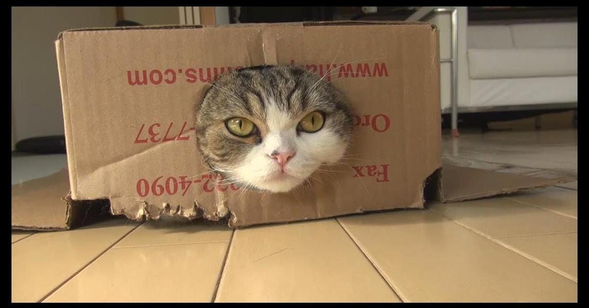 Maru dentro la scatola di cartone