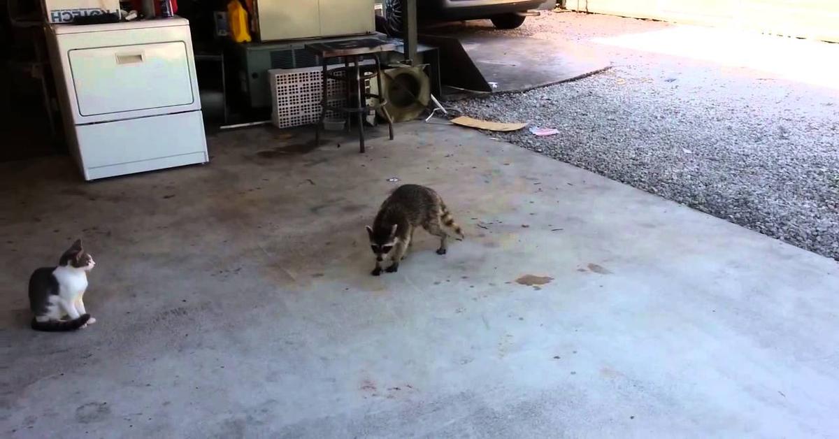 procione ruba il cibo ai gattini increduli