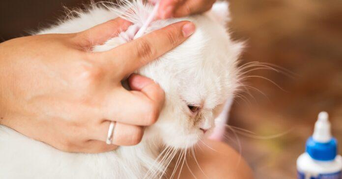 pulire orecchie al gatto
