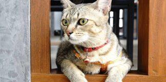 gatto con il campanellino
