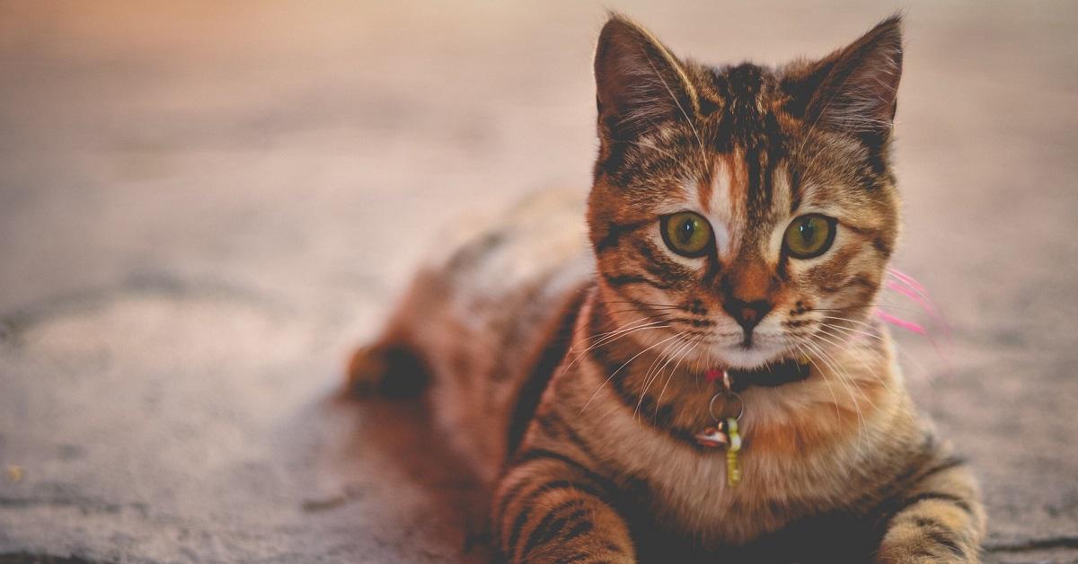 gattino con collare