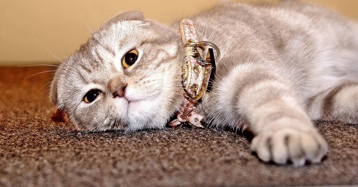 gatto si rilassa su tappeto