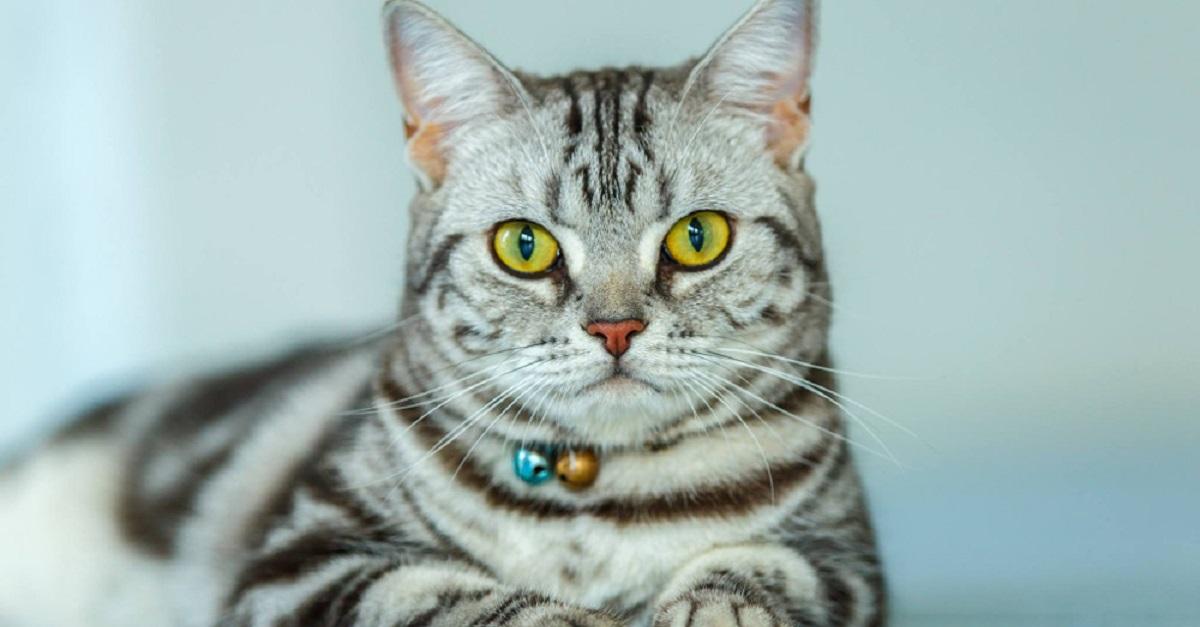gatto tigrato con collare