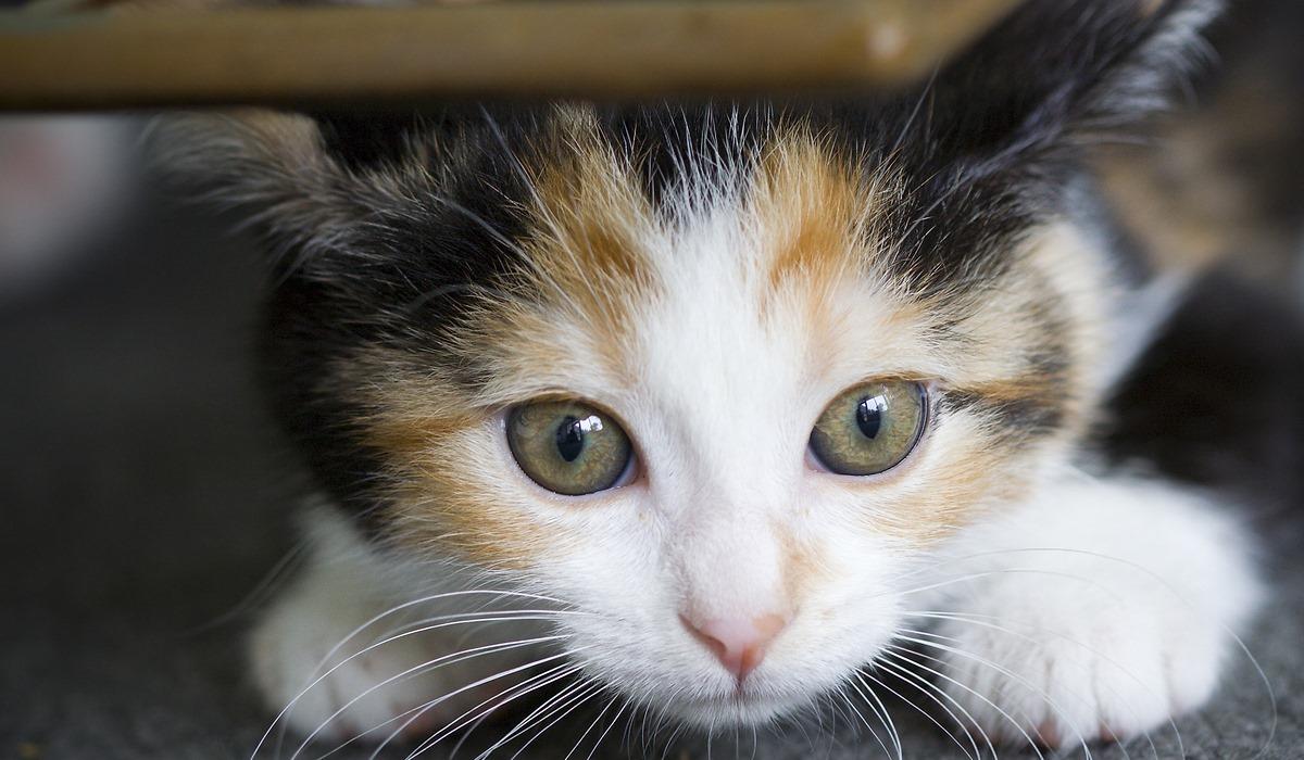 gattino che si nasconde sotto i mobili
