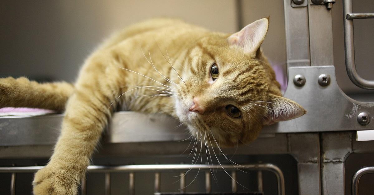 gatto in degenza