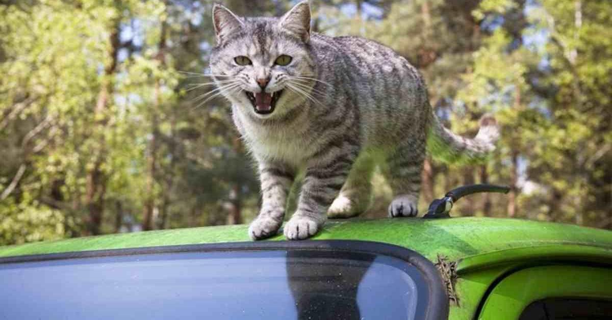 gatto randagio si difende