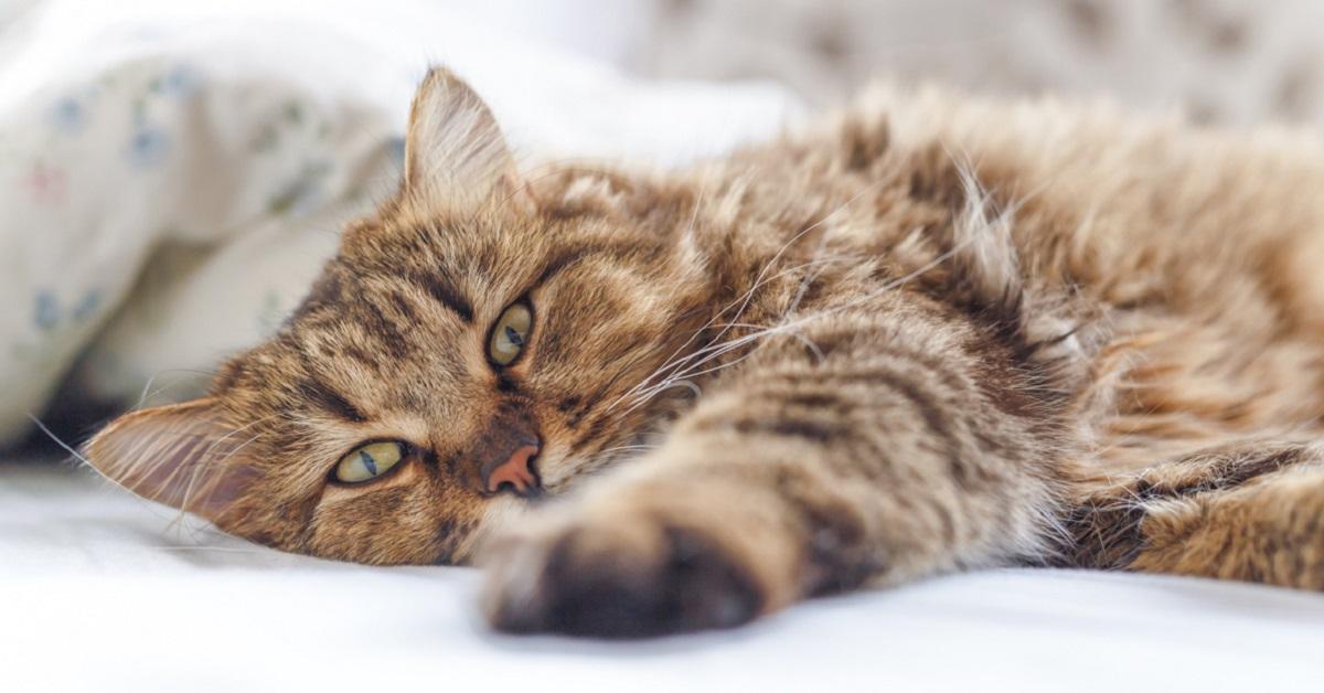 letargia nel gatto