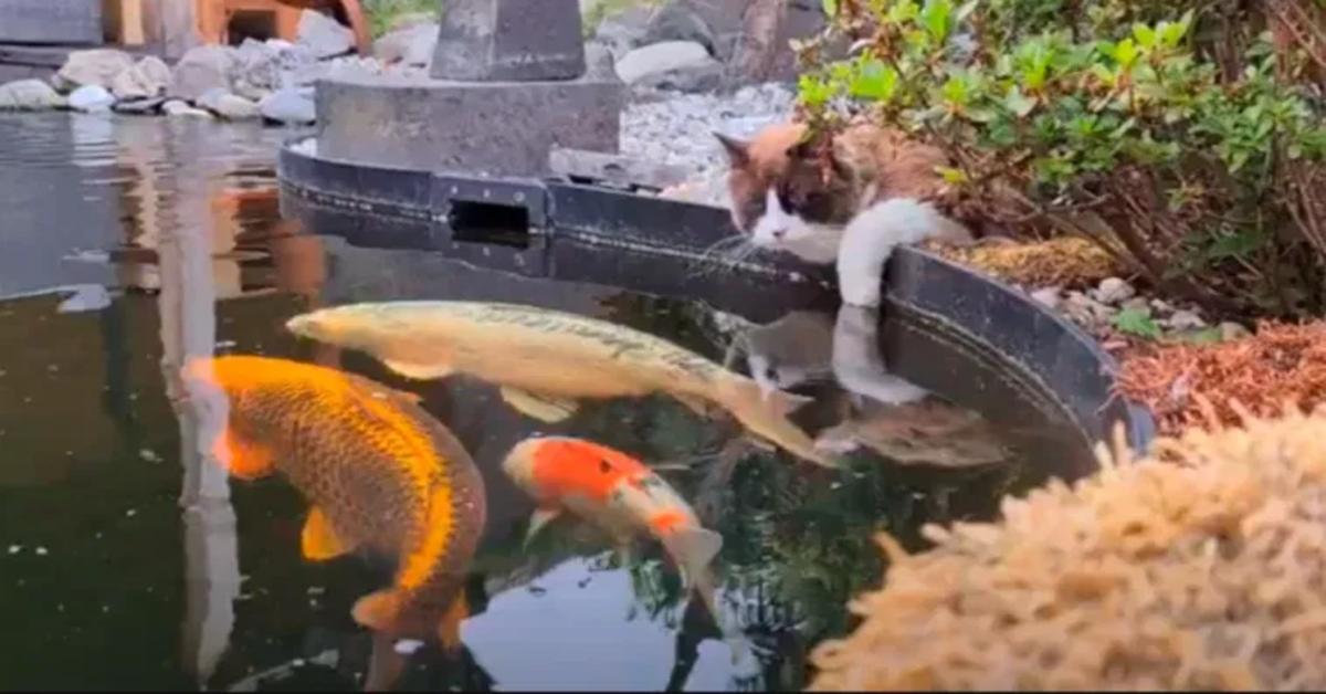 gatto Ragdoll e pesce Koi