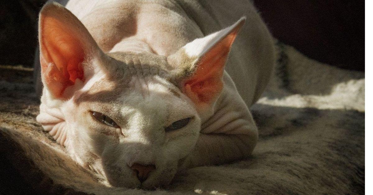 gatto pelle nuda