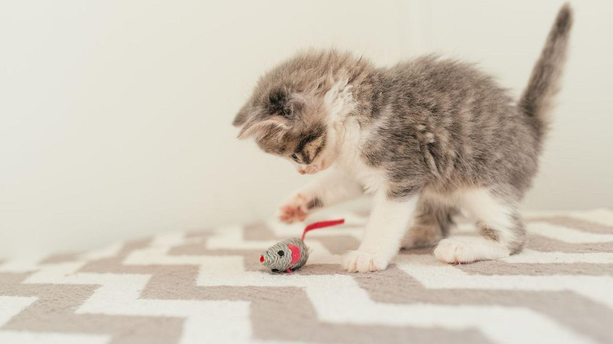 gattino insegue topolino di peluche