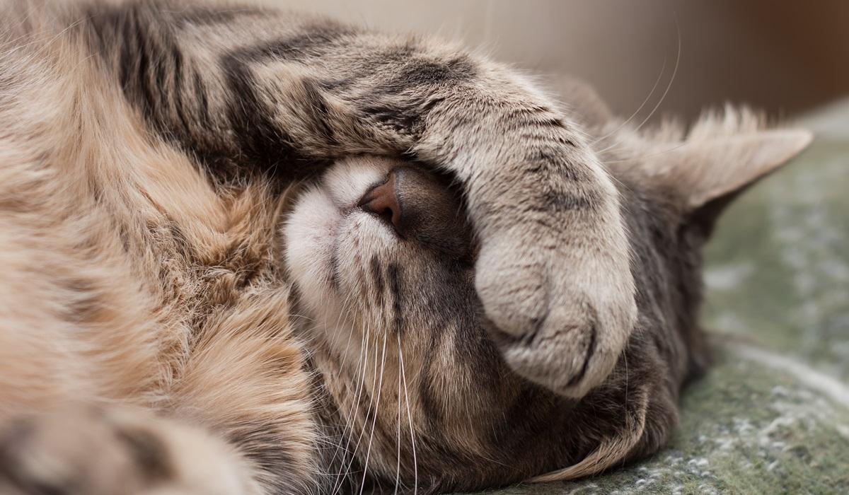 gatto copre gli occhi con la zampa