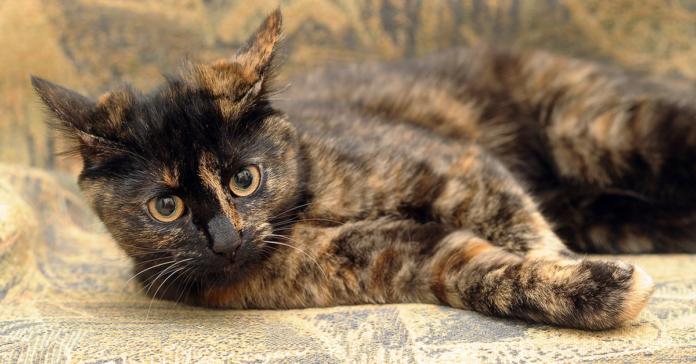 gatto tartarugato