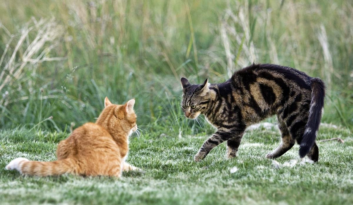 gatto dominante su un altro