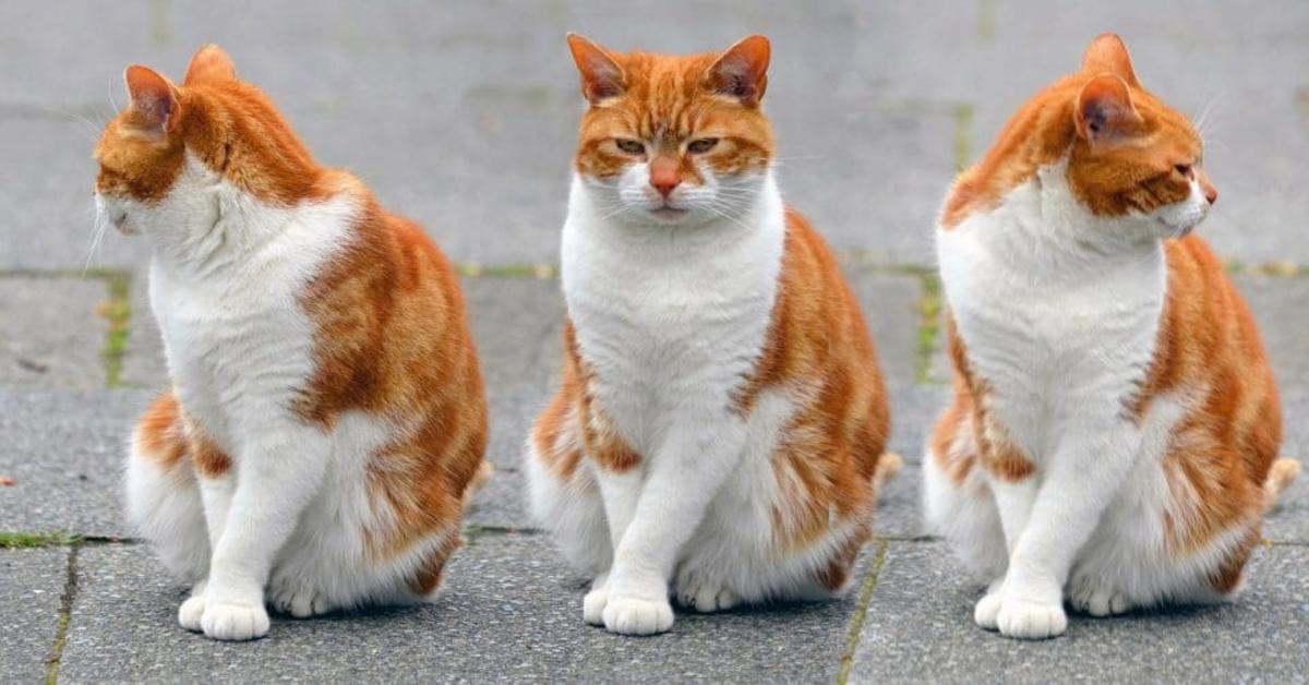tre gatti bianchi e arancio
