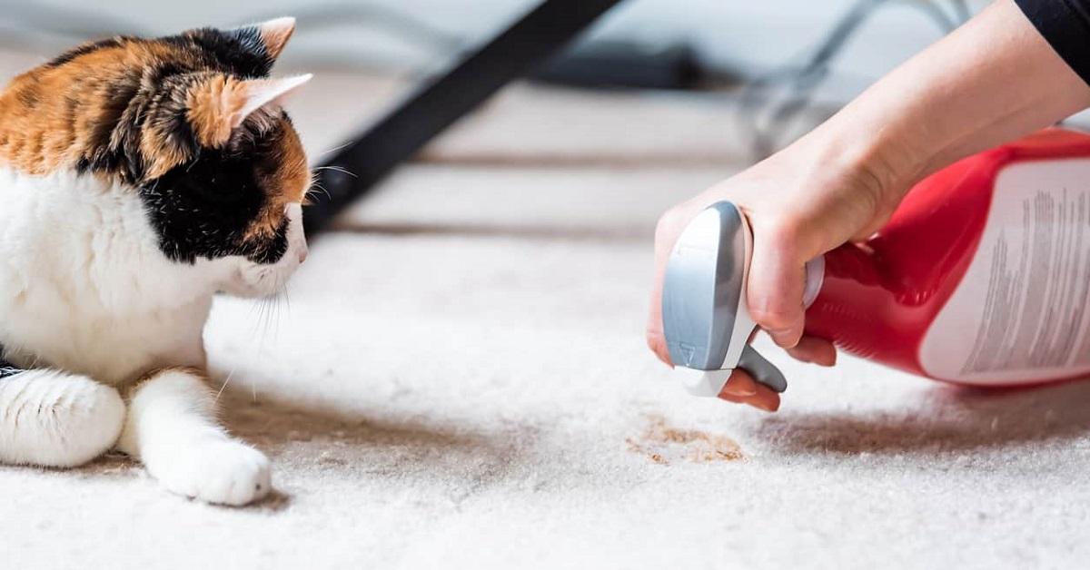 pipì di gatto su tappeto